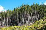 New Zealand, South Island: Monterey pine tree forest at resort Lochmara Lodge near town of Picton on Marlborough Sounds. Photo copyright Lee Foster. Photo # newzealand125506