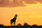 Giraffes, Giraffa camelopardalis, silhouetted at sunset, Etosha National Park, Namibia