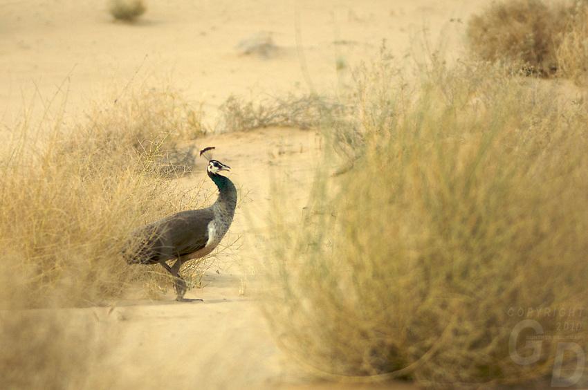 Wild Peacock in the Thar Desert, near Jaisalmer