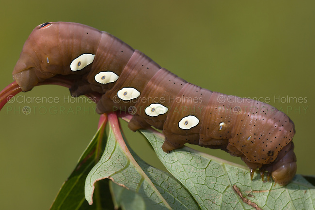 Pandorus Sphinx Moth Caterpillar (Eumorpha pandorus) feeding on a leaf