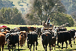 Cowboy Colemen Rader gathers the cows and calvesat the Stoney Creek Corrals of the Busi Ranch, Amador County, Calif.