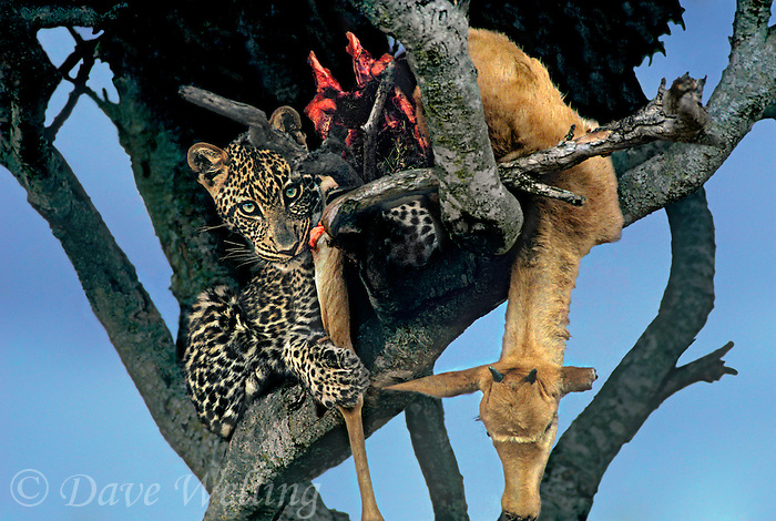654307009 a wild african leopard panthera pardus sits in a tree feeding on a topi kill in the masai mara reserve in kenya east africa