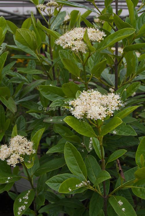 Viburnum nudum 'Winterthur' in bloom in June