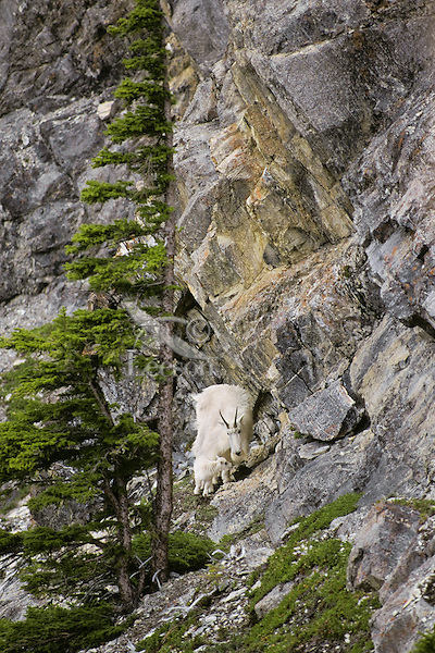Female Mountian Goat (nanny) with a very young kid on steep mountainside which goats use for protection.  Northern Rockies Mountians. (Oreamnos Americanus).