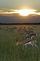 Grazing springbok at sunset