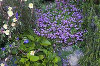 Blue flowering hardy Geranium x cantabrigiense 'Cambridge Blue' groundcover in perennial border; Gary Ratway garden