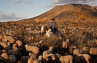 Edgar Oscanoa rides Dot through a herd of sheep doing a morning count in Upper Gully. He lives at a camp and works alone at the Ladder Livestock Ranch in southern Wyoming.<br /> <br /> Peruvian shepherds traditionally work at the ranch watching over sheep.  Dot, an adopted mustang that came from the correctional center in Riverside, saved a shepherd's life by finding his way home on a cold night when they were lost.