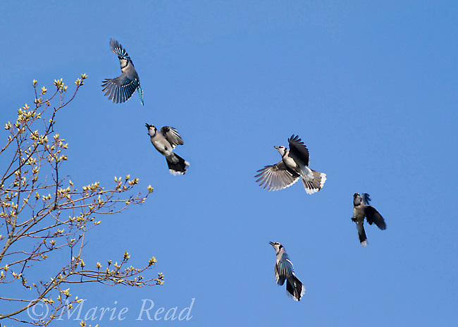 "Blue Jays (Cyanocitta cristata) flock in flight in spring. Blue Jays join noisy social gatherings in spring, flying around and displaying together (""Elaborate Social Display""). New York, USA"