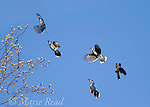 """Blue Jays (Cyanocitta cristata) flock in flight in spring. Blue Jays join noisy social gatherings in spring, flying around and displaying together (""""Elaborate Social Display""""). New York, USA"""