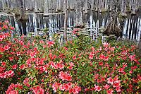 Azalea in full bloom and cypress trees, Cypress Gardens, Charleston, South Carolina