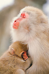 Japanese macaque with baby, Honshu, Japan