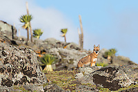 An Ethiopian Wolf in the Mountain Lobelias of the Bale Mountains in Ethiopia