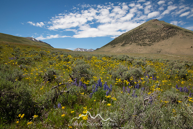 Idaho, East Central, May/Howe. WIldflowers in the Pahsimeroi Mountains in late spring.