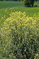 Orientalisches Zackenschötchen, Glattes Zackenschötchen, Türkische Rauke, Bunias orientalis, Warty Cabbage