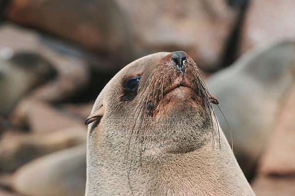 Brown Fur Seal (Arctocephalus pusillus), adult, Cape Cross, Namibia, Africa