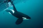 Underwater Orca