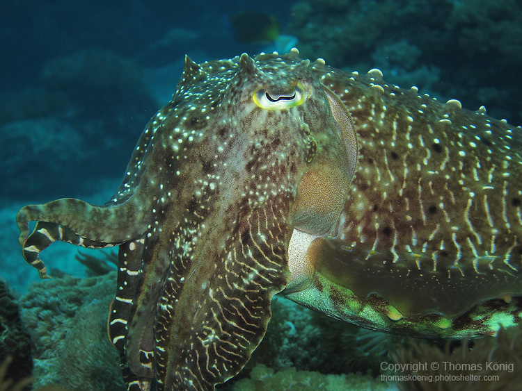 Shi Lang, Green Island - Cuttlefish on a reef.