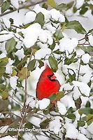 01530-20710 Northern Cardinal (Cardinalis cardinalis) male in American Holly (Ilex opaca) tree in winter Marion County, IL