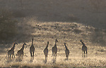 Giraffes, Giraffa camelopardalis, silhouetted, Kgalagadi Transfrontier Park, South Africa