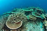 Acropora table and staghorn coral reef, GBR, Australia