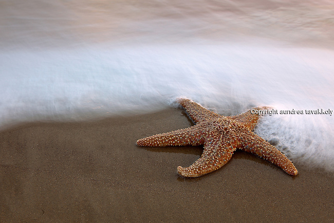 seastar at the waters edge in Santa Barbara California