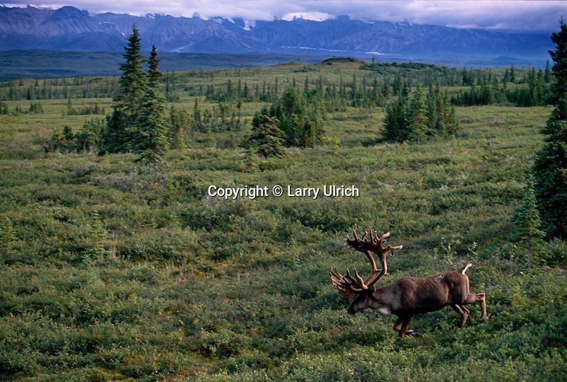 Bull caribou<br /> Denali National Park<br /> Alaskan Range<br /> Alaska