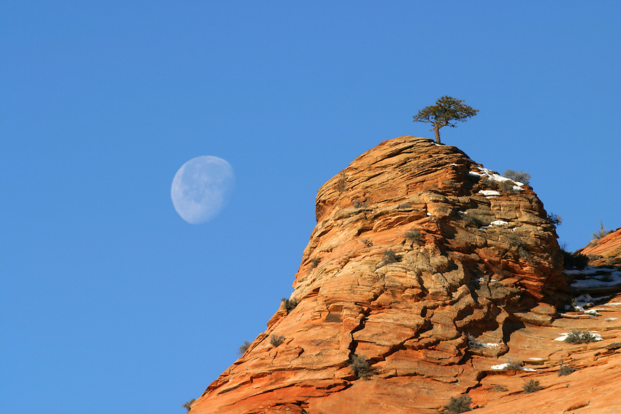 Tree on clifftop against blue sky with nearly full moon, Zion National Park, Washington County, UT