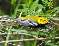 Adult male black-throated green warbler