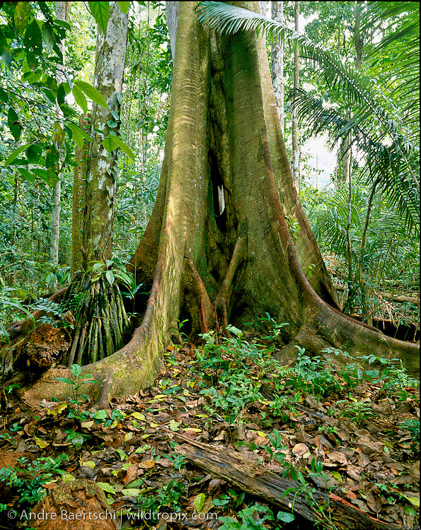 Buttressed base of emergent canopy tree (Brosimum alicastrum) in lowland tropical rainforest, Manu National Park, Madre de Dios, Peru.