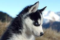 Junger Husky vor einer Bergkulisse - Puppy Husky Dog in front of a Mountain Scenery