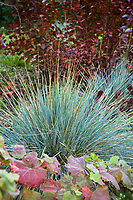 Gray foliage bunchgrass, Helictotrichon sempervirens 'Sapphire', Blue Oat Grass, in autumn California garden with Cotinus and Vitis