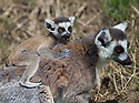 16/05/16<br /> <br /> &quot;She's got another thing coming if she thinks I'm actually going to climb up that, on my own&quot;<br /> <br /> Three baby ring-tail lemurs began climbing lessons for the first time today. The four-week-old babies, born days apart from one another, were reluctant to leave their mothers&rsquo; backs to start with but after encouragement from their doting parents they were soon scaling rocks and trees in their enclosure. One of the youngsters even swung from a branch one-handed, at Peak Wildlife Park in the Staffordshire Peak District. The lesson was brief and the adorable babies soon returned to their mums for snacks and cuddles in the sunshine.<br /> All Rights Reserved F Stop Press Ltd +44 (0)1335 418365