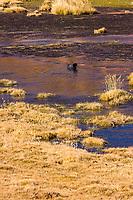 South America, Chile, puna de atacama ,Andean goose