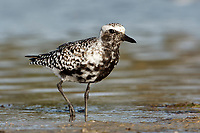 Grey Plover - Pluvialis squatarola - Adult moulting into full Summer Plumage