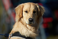 A young golden retriever takes in the NCAA baseball game between the Concord Mountain Lions and the Wingate Bulldogs at Ron Christopher Stadium on February 2, 2020 in Wingate, North Carolina. The Mountain Lions defeated the Bulldogs 12-11. (Brian Westerholt/Four Seam Images)