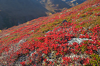 Bearberry on the tundra in autumn red color, mountain hillside in the Brooks Range, Arctic, Alaska