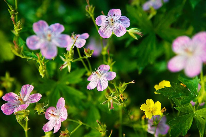Sticky Geranium (Geranium viscosissimum). Steens Mountain, Oregon