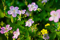 Sticky Geranium (Geranium viscosissimum). Steens Mountain, Oregon