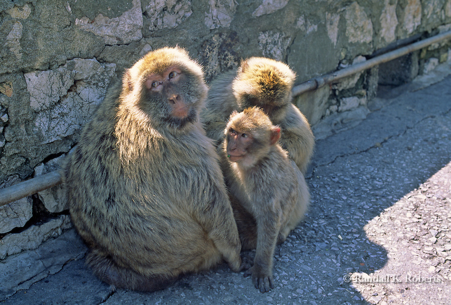 Family of Barbary Macaque monkeys, Gibraltar, UK. These tailless monkeys are the only free-living monkeys in Europe.