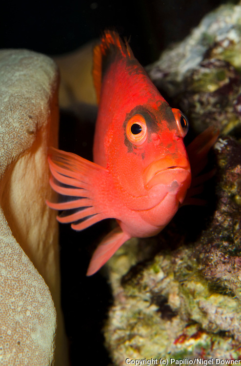 Close-up frontal view of a Scarlet hawkfish or Flame hawkfish (Neocirrhites armatus) perched on rocks in an aquarium at King's Lynn Koi Centre Norfolk.