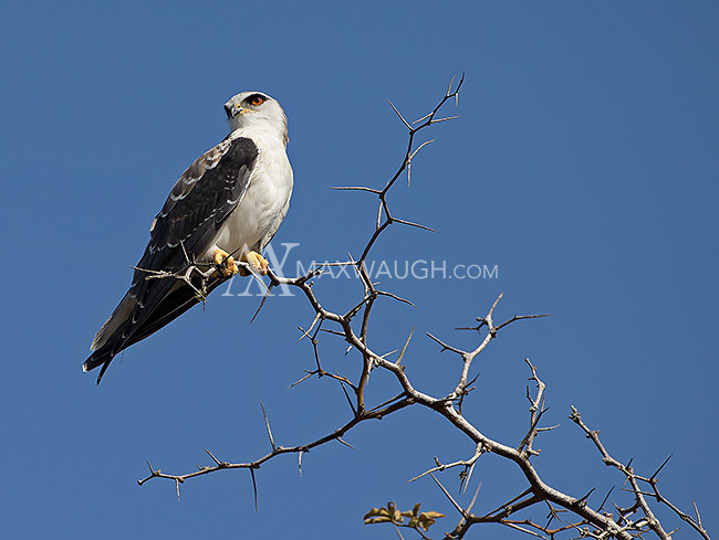 A black-winged kite photographed in Kruger.