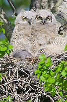 Pair of Owlet chicks sitting in the nest