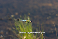 06361-007.01 Common Green Darner (Anax junius) male in flight over wetland, Marion Co. IL