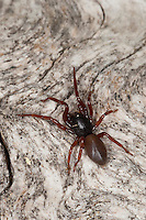 Asseljäger, Asselspinne, Dysdera ninnii, woodlouse spider, woodlouse hunter, sowbug hunter, sowbug killer, pillbug hunter, slater spider, Sechsaugenspinne, Sechsaugen-Spinne, Sechsaugenspinnen, Dunkelspinnen, Walzenspinnen, Sechsauge, Sechsaugen, Dysderidae, woodlouse hunters, sowbug-eating spiders, cell spiders, Österreich, Kärnten