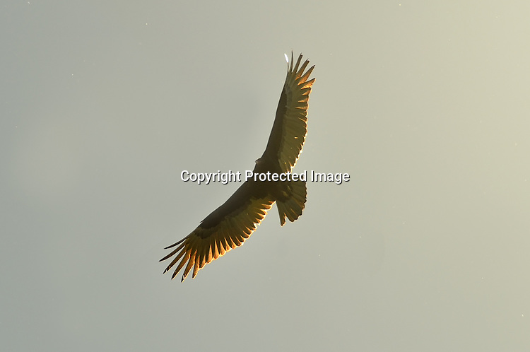 Stock photo of soaring vulture