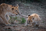 Playful lion cubs pull on tale by YS Wildlife Photography