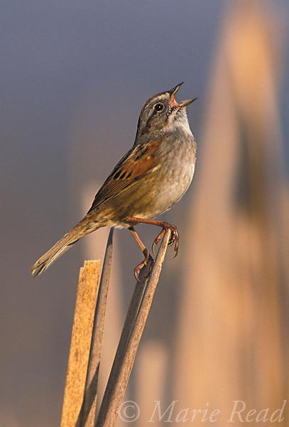Swamp Sparrow (Melospiza georgiana) singing in a cattail marsh, New York, USA<br /> Slide B164-54