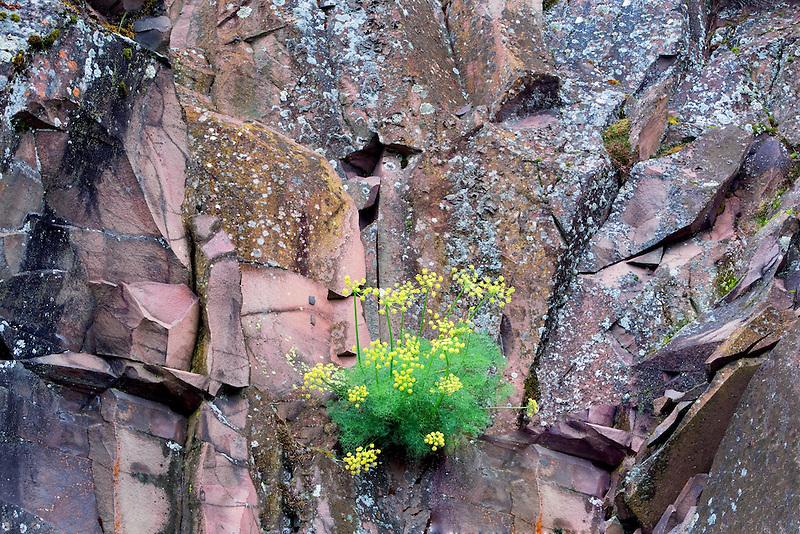Pungent Desert Parsley (Lomatium grayi) and rock wall. Columbia River Gorge National Scenic Area, Washington