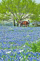 Nothing say Texas like spawling ranch landscape with cowboys, horses, mesquite, and bluebonnets.  On this Texas ranch in the Hill country the cowboys meet up to watch all of the toursit that come to see these endless fields of bluebonnets and poppies.  They are taking in the scene from a safe distance under this mesquite tree with endless bluebonnets landscape between them and the road where no trest passing sign is posted clearly for all to view!