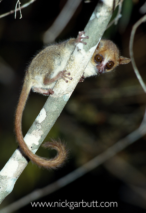 Madame Berthe's Mouse Lemur (Microcebus berthae). Kirindy Forest, western Madagascar. The World's smallest primate (around 25-30g).
